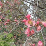 Flowering Quince1
